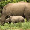 If we allow legal trade the demand will be too high and the rhino will be harvested to extinction