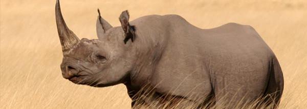 Rhino horn is used as an aphrodisiac