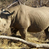 The use of rhino horn as medicine is not legitimate, because it is unscientific