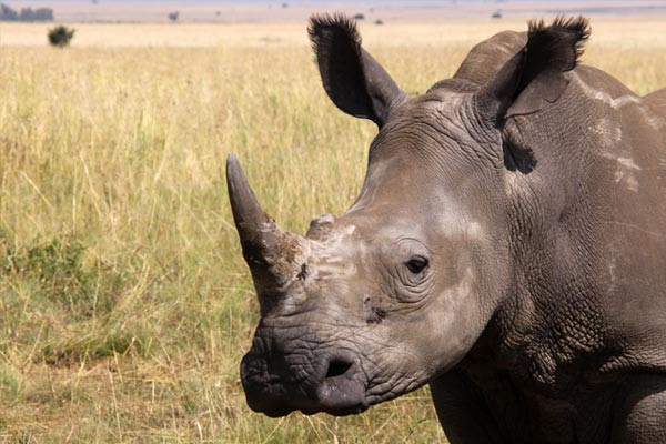 If we can disprove that horn works as medicine, we can save the rhino