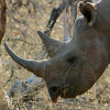 The rhino horn ban can work with better enforcement and more political will