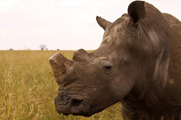 Rhinos must be killed to get their horns