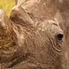 There can never be a legitimate market for rhino horn