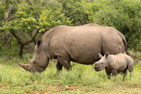 The illegal rhino horn trade is driven by greed and evil people